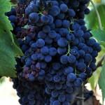 Degustation de vins en Sella & Mosca Alghero
