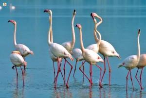 fenicottero-rosa-pink-flamingos-sardinia